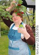 Купить «Женщина в саду собирает калину», эксклюзивное фото № 23550916, снято 10 сентября 2016 г. (c) Юрий Морозов / Фотобанк Лори