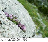 Чабрец на склоне горы. Стоковое фото, фотограф Владимир Сидорович / Фотобанк Лори