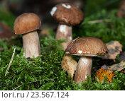 Купить «Белые грибы растут на мхе», эксклюзивное фото № 23567124, снято 29 августа 2016 г. (c) Игорь Низов / Фотобанк Лори