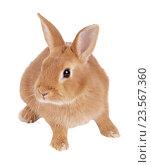 Купить «Карликовый кролик, изолировано на белом фоне», фото № 23567360, снято 9 апреля 2016 г. (c) Игорь Долгов / Фотобанк Лори