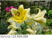 Купить «Сортовая желтая лилия (лат. Lilium) в саду», эксклюзивное фото № 23568088, снято 30 июля 2016 г. (c) Елена Коромыслова / Фотобанк Лори
