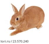 Купить «Карликовый кролик, изолировано на белом фоне», фото № 23570240, снято 9 апреля 2016 г. (c) Игорь Долгов / Фотобанк Лори