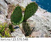 Купить «Куст опунции, растущий на скале у берега моря», фото № 23570548, снято 10 июня 2016 г. (c) Вячеслав Палес / Фотобанк Лори