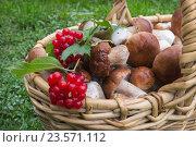 Купить «Белые грибы и кисти ягод калины в корзине», фото № 23571112, снято 22 сентября 2016 г. (c) Александр Романов / Фотобанк Лори