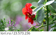 Купить «Red rose in rain in summer», видеоролик № 23573236, снято 31 июля 2016 г. (c) Володина Ольга / Фотобанк Лори