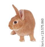 Купить «Карликовый кролик, изолировано на белом фоне», фото № 23575860, снято 9 апреля 2016 г. (c) Игорь Долгов / Фотобанк Лори