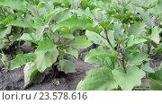 Купить «Leaves of Eggplant growing in the garden», видеоролик № 23578616, снято 27 июля 2016 г. (c) Володина Ольга / Фотобанк Лори
