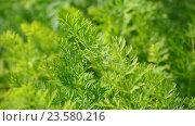 Купить «Leaves of young carrots in garden», видеоролик № 23580216, снято 29 июля 2016 г. (c) Володина Ольга / Фотобанк Лори