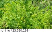 Купить «Leaves of young carrots in garden», видеоролик № 23580224, снято 29 июля 2016 г. (c) Володина Ольга / Фотобанк Лори