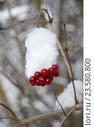 Купить «Ягоды калины под снегом», фото № 23580800, снято 24 января 2016 г. (c) Елена Коромыслова / Фотобанк Лори