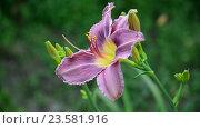 Купить «Light purple daylily in garden», видеоролик № 23581916, снято 5 июля 2016 г. (c) Володина Ольга / Фотобанк Лори