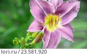 Купить «Beautiful Light purple daylily in garden», видеоролик № 23581920, снято 5 июля 2016 г. (c) Володина Ольга / Фотобанк Лори