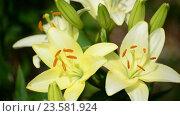 Купить «Yellow varietal large lily close up», видеоролик № 23581924, снято 7 июля 2016 г. (c) Володина Ольга / Фотобанк Лори