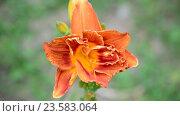 Купить «orange varietal lily in flowerbed close-up», видеоролик № 23583064, снято 5 июля 2016 г. (c) Володина Ольга / Фотобанк Лори