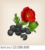 Семена мака и цветок. Стоковая иллюстрация, иллюстратор Станислав Хомутовский / Фотобанк Лори