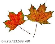 Разноцветные осенние кленовые листья на белом фоне (сканфото) Стоковое фото, фотограф Анатолий Платонов / Фотобанк Лори