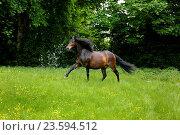Купить «galloping Paso Peruano», фото № 23594512, снято 13 января 2016 г. (c) age Fotostock / Фотобанк Лори