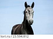 Купить «German Sport Horse Portrait», фото № 23594812, снято 27 июля 2016 г. (c) age Fotostock / Фотобанк Лори