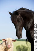 Купить «Frisian Horse and sheep», фото № 23595220, снято 27 июля 2016 г. (c) age Fotostock / Фотобанк Лори
