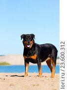 Rottweiler. Стоковое фото, фотограф Tierfotoagentur / Traumfoto / age Fotostock / Фотобанк Лори