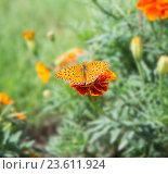 Бабочка Перламутровка на цветке. Стоковое фото, фотограф Олег Пученков / Фотобанк Лори