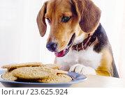 Купить «Beagle puppy and cookies on a table», фото № 23625924, снято 22 июля 2016 г. (c) Tatjana Baibakova / Фотобанк Лори
