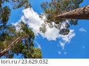 Кроны высоких сосен над головой в лесу на фоне голубого неба, фото № 23629032, снято 29 сентября 2016 г. (c) FotograFF / Фотобанк Лори