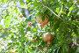 Гранат на дереве, фото № 23656040, снято 1 августа 2015 г. (c) Донцов Евгений Викторович / Фотобанк Лори