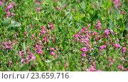 Купить «Fragment of beautiful meadow with pink flowers, Russia», видеоролик № 23659716, снято 8 июля 2016 г. (c) Володина Ольга / Фотобанк Лори