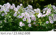 Купить «Many beautiful white phlox outside», видеоролик № 23662608, снято 1 июля 2016 г. (c) Володина Ольга / Фотобанк Лори