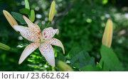 Купить «Yellow spotted lily in flowerbed», видеоролик № 23662624, снято 1 июля 2016 г. (c) Володина Ольга / Фотобанк Лори