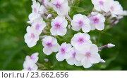 Купить «large inflorescences of white varietal phlox», видеоролик № 23662656, снято 30 июня 2016 г. (c) Володина Ольга / Фотобанк Лори