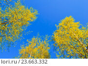 Купить «Trees extending the sky - autumn forest landscape», фото № 23663332, снято 5 мая 2016 г. (c) Зезелина Марина / Фотобанк Лори