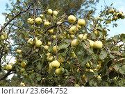 Купить «Много яблок растет на ветке. Сорт Антоновка, урожай яблок», фото № 23664752, снято 20 сентября 2015 г. (c) Юрий Карачев / Фотобанк Лори