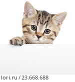 Купить «Cat kitten hanging over blank poster or board, isolated on white», фото № 23668688, снято 17 января 2014 г. (c) Оксана Кузьмина / Фотобанк Лори