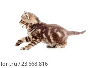 Купить «funny playful baby Scottish british kitten isolated on white background», фото № 23668816, снято 23 апреля 2012 г. (c) Оксана Кузьмина / Фотобанк Лори