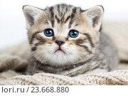 Купить «baby cat kitten lying on jersey», фото № 23668880, снято 17 декабря 2013 г. (c) Оксана Кузьмина / Фотобанк Лори