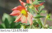 Купить «Bumblebee on dahlia flower», видеоролик № 23670660, снято 25 сентября 2016 г. (c) Игорь Жоров / Фотобанк Лори