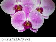 Купить «Орхидея Фаленопсис (Orchid Phalaenopsis) на черном», фото № 23670972, снято 6 сентября 2016 г. (c) Татьяна Белова / Фотобанк Лори