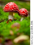 Купить «agaric amanita muscaia mushroom detail in forest autumn», фото № 23684396, снято 2 ноября 2018 г. (c) age Fotostock / Фотобанк Лори