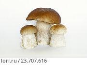 Купить «Белые грибы, или боровики (лат. Boletus edulis), на белом фоне», фото № 23707616, снято 28 августа 2016 г. (c) Елена Коромыслова / Фотобанк Лори