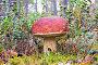 Белый гриб в лесу во мхе крупным планом, фото № 23708368, снято 25 сентября 2016 г. (c) Алексей Маринченко / Фотобанк Лори