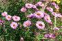 Розовые цветы. Группа альпийские астры., фото № 23709152, снято 26 сентября 2016 г. (c) Никита Ковалёв / Фотобанк Лори