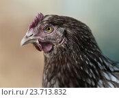 Купить «Портрет коричневой курицы», фото № 23713832, снято 22 мая 2016 г. (c) Абрамова Ксения / Фотобанк Лори