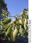 Плоды инжира на дереве. Стоковое фото, фотограф Джакобия Екатерина / Фотобанк Лори