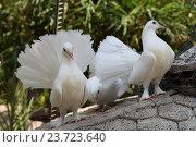 Белые голуби. Стоковое фото, фотограф Сергей Тихомиров / Фотобанк Лори