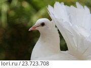 Белый голубь. Стоковое фото, фотограф Сергей Тихомиров / Фотобанк Лори