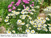 Купить «Нивяник обыкновенный (лат. Leucanthemum vulgare), или ромашка садовая», фото № 23732852, снято 25 июня 2016 г. (c) Елена Коромыслова / Фотобанк Лори