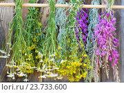 Лекарственные травы сушатся. Стоковое фото, фотограф Альбина Ялунина / Фотобанк Лори