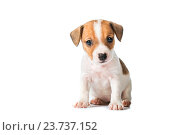 Купить «Jack Russell Terrier puppy isolated on white background», фото № 23737152, снято 9 октября 2016 г. (c) Анатолий Типляшин / Фотобанк Лори